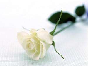 Lovely-single-white-rose